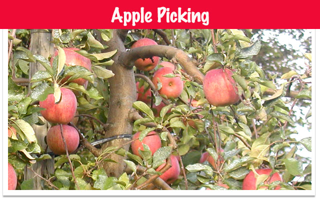 fruit picking apple