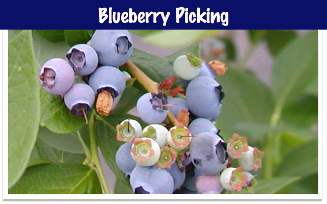 fruit picking blueberry