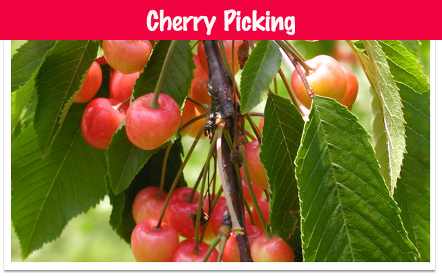 fruit picking cherry